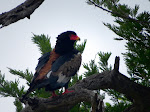 Bateleur (photo by Clare) - Kruger National Park
