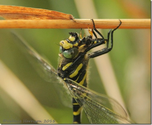 3-Golden-ringed-Dragonfly