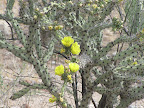 Yellow buckhorn cholla 5/8