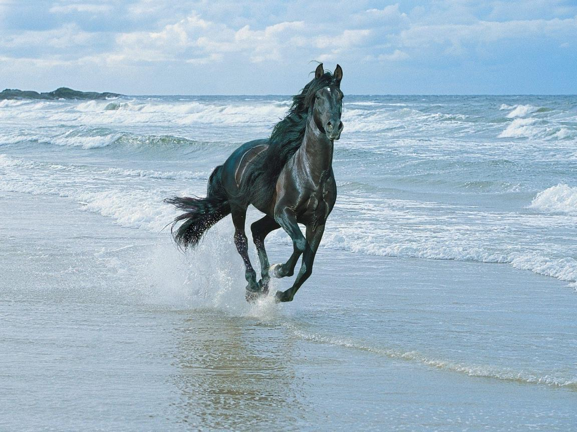 1152x864 black horse on the beach wallpaper