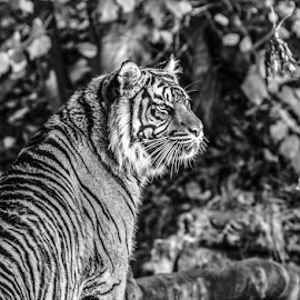 Tiger by Garry Chisholm - Black & White Animals ( nature, mammal, tiger, big cat, garry chisholm )