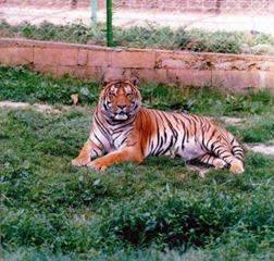 Xertigny tigre