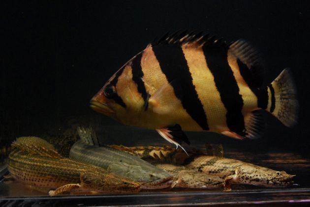 [be-ca-canh-thin_bar_tigerfish_cathai%255B6%255D.jpg]