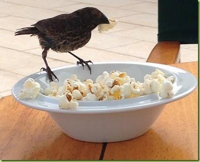 finch popcorn