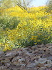 View of Brittlebush up hill 4/15