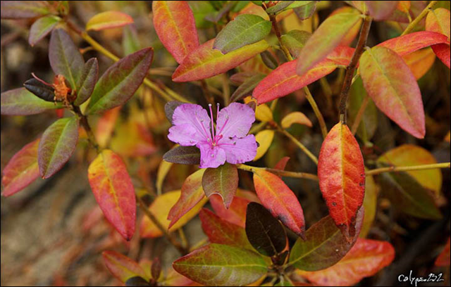 In Siberia's Sayano-Shushenskiy Reserve, a 'second spring' was reported as rhododendron blossomed during an unseasonably warm fall season, 10 October 2015. Photo: @calypso_232 / The Siberian Times