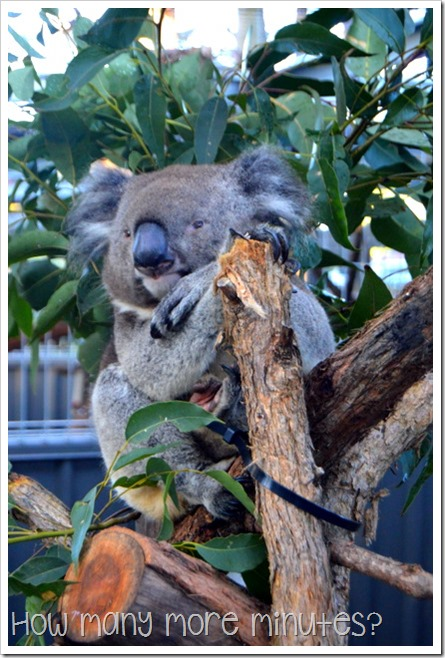 The Koala Hospital at Port Macquarie | How Many More Minutes?