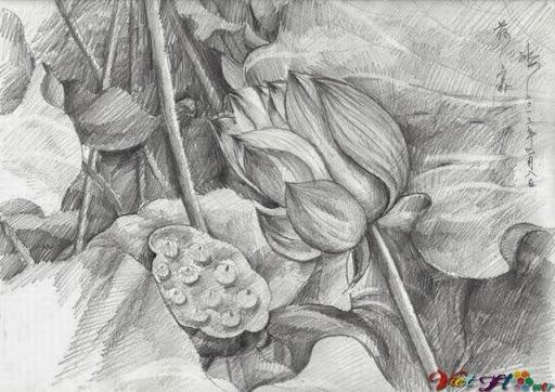 vẻ đẹp hoa sen bằng bút chì