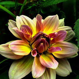 Dahlia by Janette Ho - Instagram & Mobile iPhone