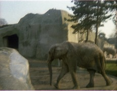 1981.02.01-013-05 éléphant d'Afrique