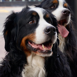 Whatever You Say by Barbara Brock - Animals - Dogs Portraits ( two dogs, dogs, black and white dogs, pets, burmese mountain dogs, happy dogs )