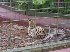 2006.08.28-007 serval