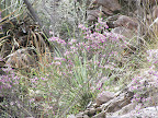 Dalea, Buehman Canyon 4/22