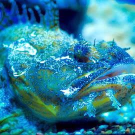Stone fish by Sujit Shanshanwal - Animals Fish ( marine, aquatic, blue, fish, aquarium, stone )