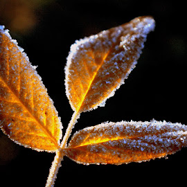 Frosty leaves by Laura Horne - Nature Up Close Leaves & Grasses ( plant, warm, cold, frost, sunlight, leaves,  )