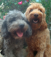 GorgeousDoodles labradoodle  breeders