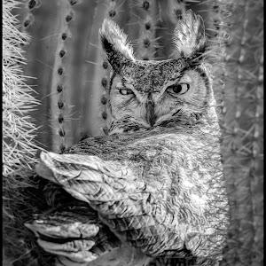 Great Horned Owl-51.jpg