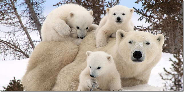 polar-bear-family