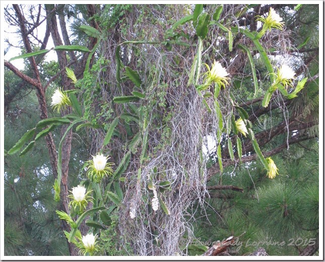 08-07-night-blooming-cereus4