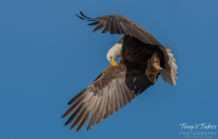 A Bald Eagle launches into the air with its squirrel meal firmly in its talons' grasp.  (© Tony's Takes)