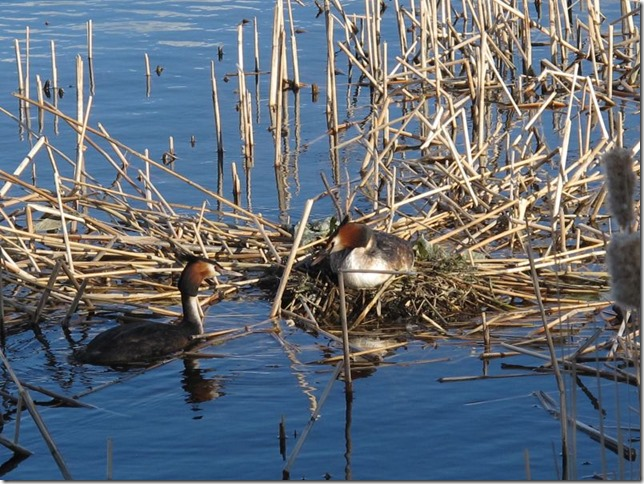 male and female grebes about to change shifts on the nest photo by susan wellington