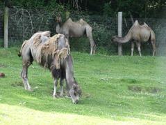 201506.21-078 chameaux