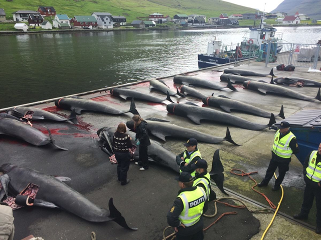 The bodies of 22 pilot whales are disemboweled by Faroese poachers on 29 June 2015. The bodies were hoisted onto the dock by a crane as each animal was disemboweled, and unborn fetuses ripped were from their mother's wombs. The bodies were decapitated one by one. One supporter of the slaughter sent Captain Paul Watson a message, saying, 'We could show ISIS a thing or two about decapitation, you whale-loving bastards.' Photo: SSCS