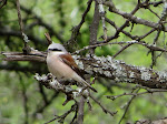 Red-backed shrike (photo by Clare) - Polokwane Game Reserve