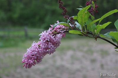 Late Lilac Blooms