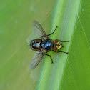 Unknown Diptera