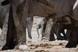 Baby Elephants Marching - Etosha, Namibia