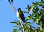 Klaas's cuckoo (photo by Clare)