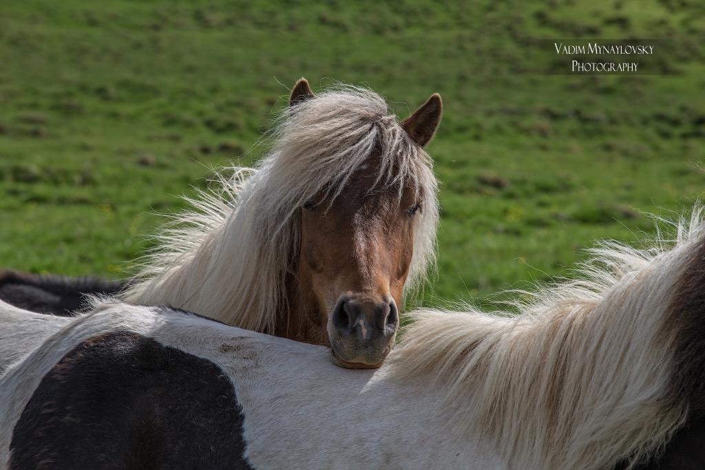 Исландские лошадки шаловливые как котята - Icelandic horses
