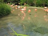 Pink Flamingos at the Nashville Zoo 09032011c