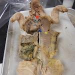 fetal_pig_coronary.JPG