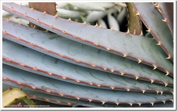 130202_UCDavis_Aloe-suprafoliata_04