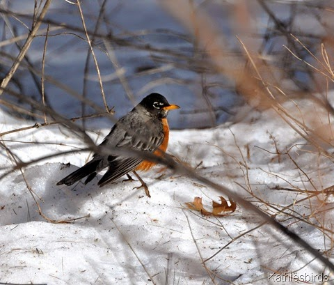 4. robin in snow-kab