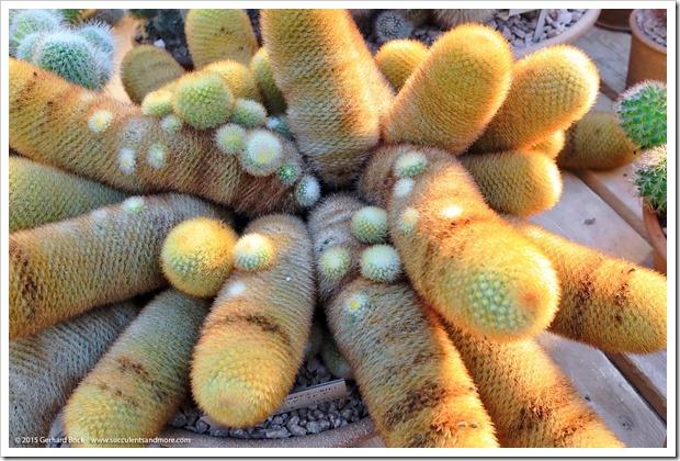 141227_Huntington_0411_Mammillaria-spinosissima-pilcayensis