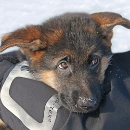 Freezing puppy by Mia Ikonen - Animals - Dogs Puppies ( finland, cute, endearing, expressive, german shepherd )