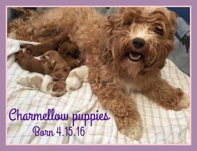 adorable labradoodle puppy