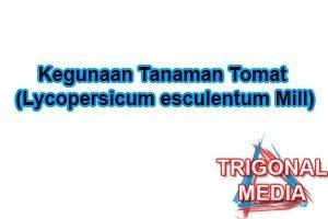 Kegunaan Tanaman Tomat (Lycopersicum esculentum Mill)