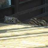 TIGERS Preservation Station - Myrtle Beach - 040510 - 12