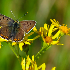 by Irena Gedgaudiene - Animals Insects & Spiders ( butterfly, meadow, summer, flower,  )