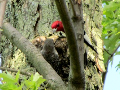 1507107 Jul 12 Red Headed Woodpecker Feeding Babies