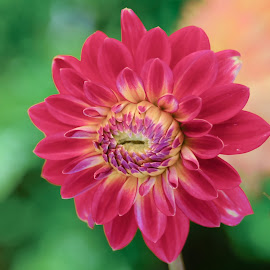 New Red Dahlia by Jim Downey - Flowers Single Flower ( red, tan, green, yellow, purple )