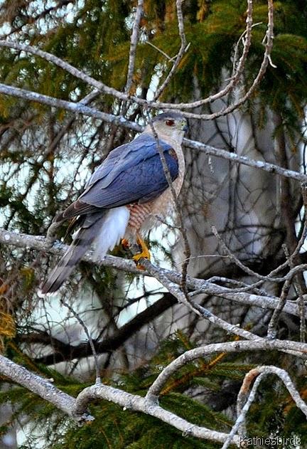 11. Cooper's hawk