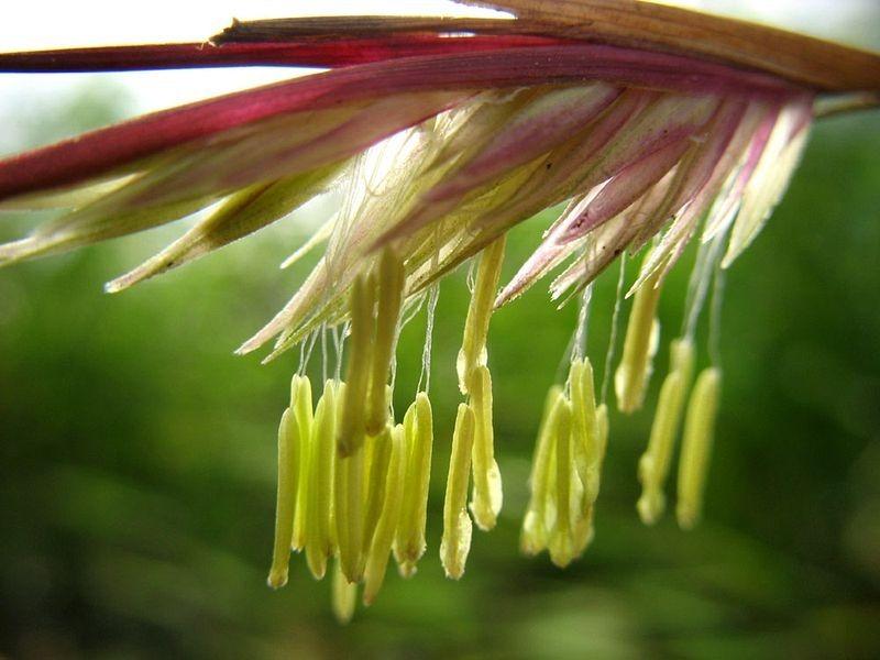 bamboo-flowering-2
