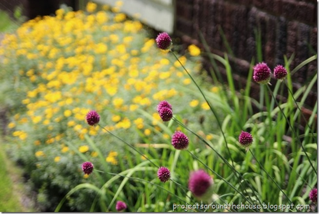 Drumstick allium with coreopsis