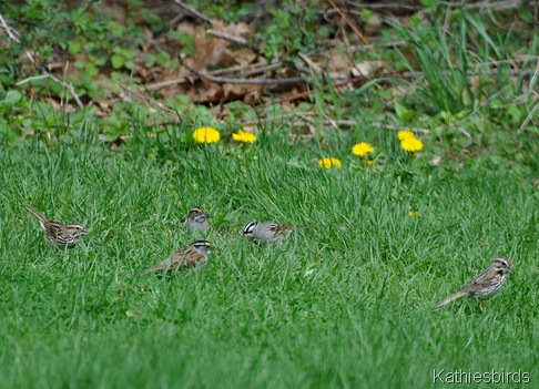 11. DSC_0665 sparrows-kab