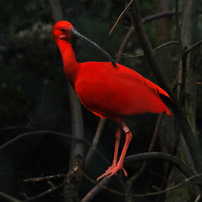red Ibis by Jade Bracke - Uncategorized All Uncategorized ( bird, red, ibis, nature, photography )